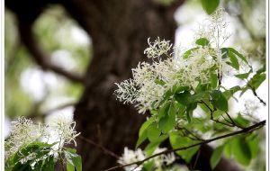 【潍坊图片】一棵开花的树——赏千年流苏