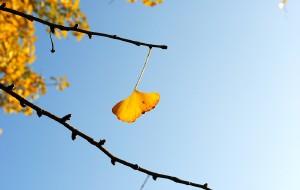 【韶关图片】2011 南雄的银杏——自助游的进来好好看看,给你有用的信息