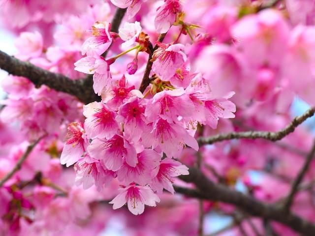 不过樱花的花期极短