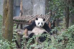 [终于成行!]无比悠闲的成都六日游(吃吃吃+吸熊猫+主要景点完整打卡+都江堰)