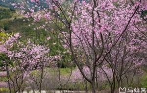 【新丰图片】春去春又来韶关樱花峪