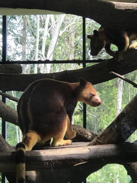 新加坡 游记   动物园一进门就能看到迎宾的绒顶柽柳猴,酋长一般的