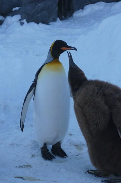 壁纸 动物 企鹅 399_600 竖版 竖屏 手机