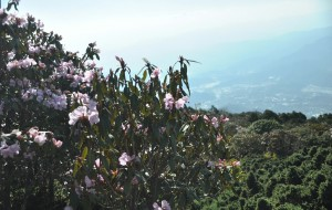 【会理图片】会理龙肘山的杜鹃花开了