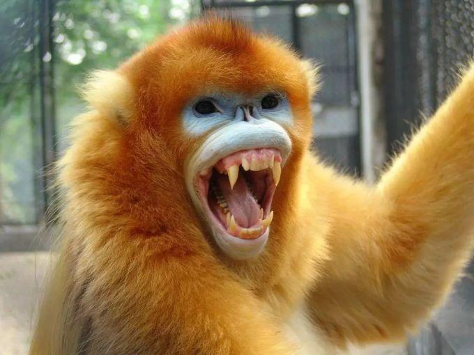 手绘金丝猴
