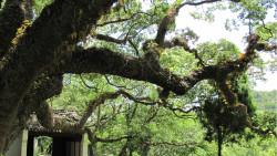 普陀山景点-千年古樟