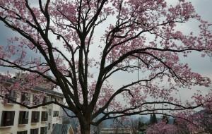 【北川图片】四月的辛夷花雨