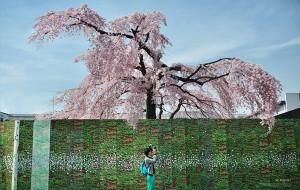 【日本图片】缪出品 - || 東洋·樱の季節 ||