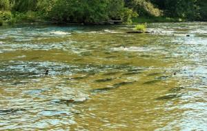 【多伦多图片】三文鱼的旅行