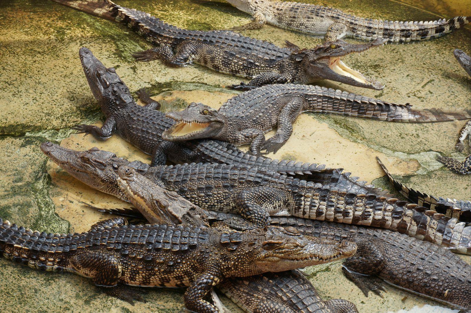 泰国北榄鳄鱼湖ag游戏直营网|平台园,又称鳄鱼农场,位于泰国离曼谷市离中心以南8公里的北榄区,是世界上最大的鳄鱼养殖场。泰国华人杨海泉在1950年创办,五十余年以来,苦心经营,规模不断扩大,养殖世界各地不同种类的鳄鱼达六万多条,从初生的长只二十几厘米的鳄鱼仔到世界最大的长6米、重量1114公斤的鳄鱼,琳琅满目。