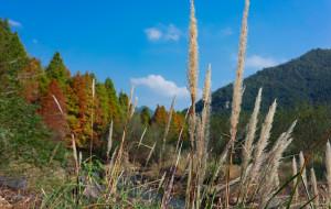 【临海图片】【唯有十二月 • 方见落羽红】台州临海红杉林寻记