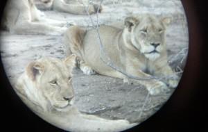 【克鲁格国家公园图片】南非久违的自驾游(上) 约堡,比勒陀尼亚,克鲁格野生动物园,约堡,飞开普敦,自驾花园大道至伊丽莎