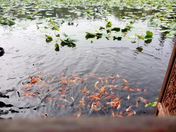 荷花池怎么少得了锦鲤,鱼戏莲叶间.咳.鱼戏鱼食下.