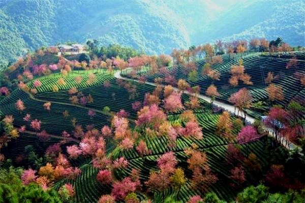 中国有个地方,樱花开的比日本还早!